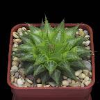 Haworthia emelyae var. multifolia