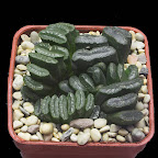 Haworthia truncata var. truncata