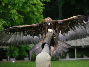 Photo: Bird of Prey display at Dunrobin Castle, Scotland