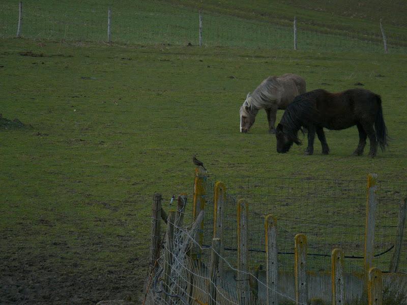 Oiseau et Poneys P1000811