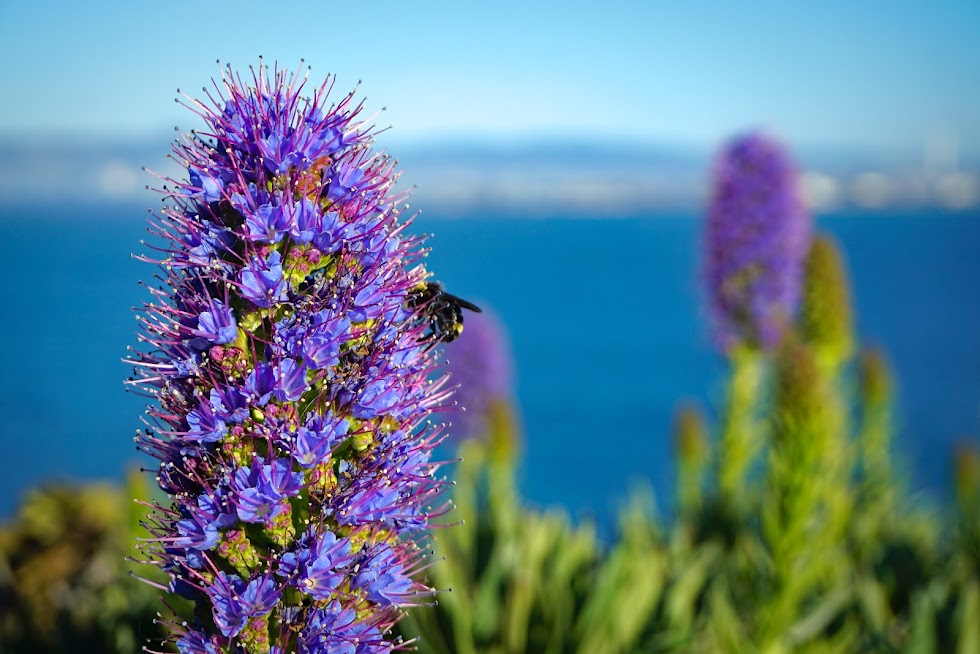 A bee tending to some beautiful flowers - Alcatraz, California