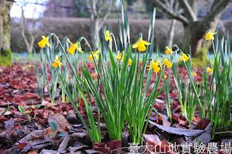 Photo: 拍攝地點: 梅峰-一平臺胡桃林 拍攝植物: 水仙 拍攝日期:2012_03_02_Yah