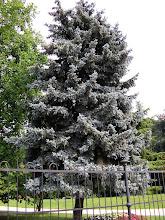 Photo: Picea abies (abeto rojo)