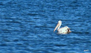 Photo: Белый пеликан, White Pelican, Dalmatian Pelican (Pelecanus onocrotalus). Миссалонги