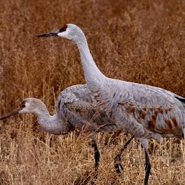 Crane by Lyn Simuns - Animals Birds