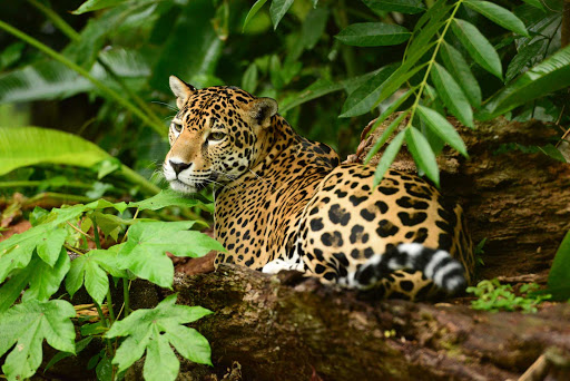 Belize-Zoo-jaguar.jpg - A jaguar in the Belize Zoo.