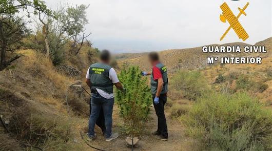 Detenido por  cultivar marihuana en una zona de acampada de Lúcar