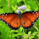 Queen (butterfly)