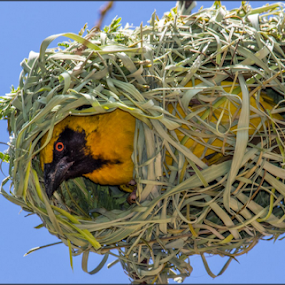 Peek a Boo by Hannes Kruger - Animals Birds ( southern masked weaver, bird, weaver, nest, peek,  )