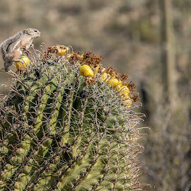 Chipmunk on Cactus by Ruth Sano - Nature Up Close Other plants ( thorn, nature, chipmunk, cactus, desert,  )