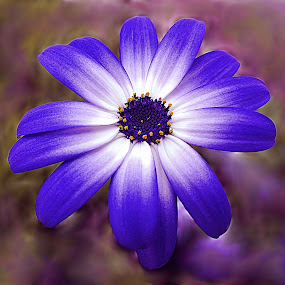 Blue Bloom by Diana Postill - Nature Up Close Flowers - 2011-2013