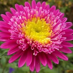 Цвете by Georgi Kolev - Flowers Single Flower ( слънце., ден., цвете., цветове., листа. )