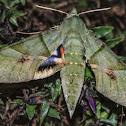 Mariposa-Falcão / Gaudy Sphinx