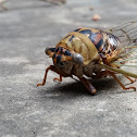 Unknown Cicada?