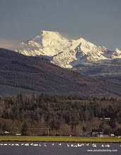 Photo: Trumpeter Swans, Skagit Valley, Washington (Mt. Baker backdrop)