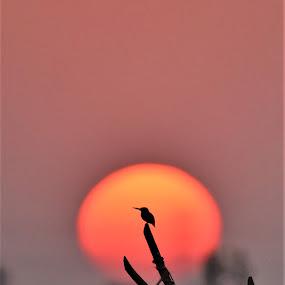 by Vijay Singh Chandel - Landscapes Sunsets & Sunrises ( picoftheday, forever, nature, bestoftheday, sunset, pixoto, kingfisher, forest )
