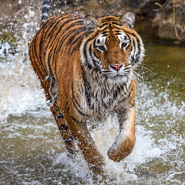by Terry DeMay - Animals Lions, Tigers & Big Cats (  )