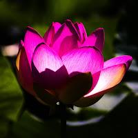 fiore di loto di