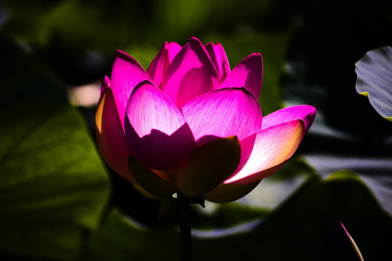 fiore di loto di vincenzo_spera