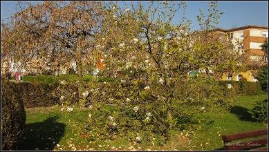 Photo: Magnolie  - din Turda, parcul primariei - 2019.04.20