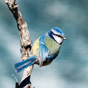 chapim azul by José Vieira - Animals Birds
