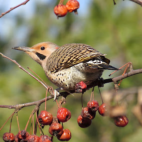 Ash Creek Flicker by Erika  Kiley - Novices Only Wildlife ( bird, tree, flicker, fall, berries )