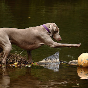 Bella by Amanda Westerlund - Animals - Dogs Portraits