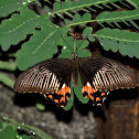 Common Mormon ♀ form stichius