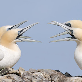 Squabbling by Harry Eggens - Animals Birds ( scotland, pair, space, birds, feather, bass rock, gannet, wings, northern gannet, squabble, harry eggens, four, nikon, feisol, wing, pairs, morus bassanus, feathers, photo, tail, bird, firth of forth, two, beaks, beak )