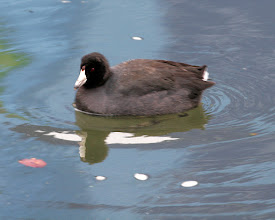 Photo: American Coot, Jan 13 2013