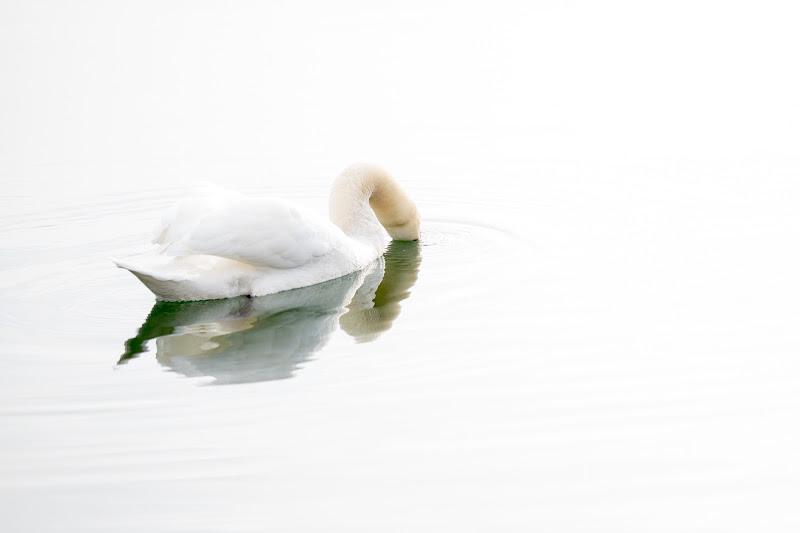 Highkey swan di thomas_gutschi