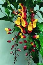 Photo: Sapatinho de Judia ( Thumbergia myrorensis )