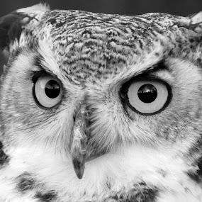 Heddychlon by Welsh Hawk - Black & White Animals