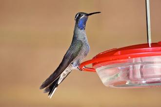 Photo: Blue-throated Hummingbird