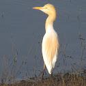 Cattle egret (गायबगळा)