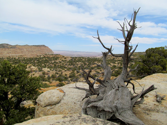 Gnarled, dead juniper near camp