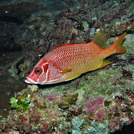by Phil Bear - Animals Fish ( reef, coral, fish, coral reef, squirrelfish, maldives )