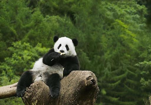 大熊猫拼图
