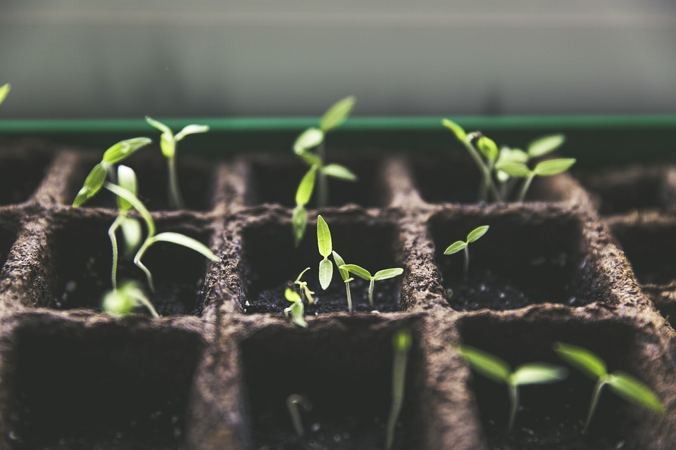 tomato seedbed