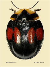 Photo: Orexita wagneri, 12,5mm, Costa Rica, La Cruz (11°07´/-83°36´), leg. Erwin Holzer, det. Lech Borowiec
