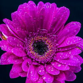 by P Murphy - Flowers Single Flower (  )