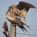 Black kite Mating