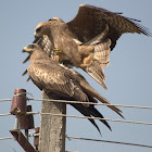 Black kite Mating