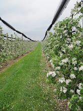 Photo: Day 34 - The Pear Orchards