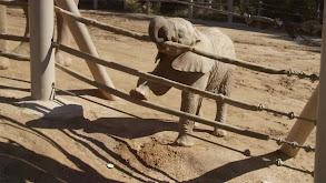 Mkhaya Discovers Her Trunk thumbnail