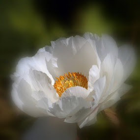 soft focus by Sue Rickhuss - Flowers Single Flower (  )