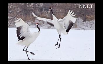 Photo: 丹頂鶴の求愛ダンス Courtship dance of the Manchurian Crane