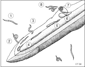Photo: Meloidogyne life cycle. 1. free living juvenile worms in soil 2 & 3. penetrate host roots 4. migrate tot root tip and then up root 5. become sessile and create feeding sites 6. females swell and start to produce eggs 7. eggs released 8. juveniles hatch into soil