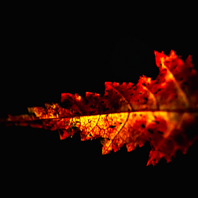 Fall Leaf  by Anthony Balzarini - Nature Up Close Other Natural Objects ( #season, #nature, #autumn, #color, #change, #fall,  )