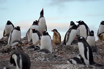 Photo: Penguins are white on the chest unless the lay in penguin poop -- like the lad in the middle! Don't know what the guy at the top is yelling about...
